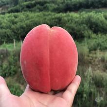 珍珠棗油桃油桃桃苗浙江基地報價圖片