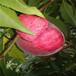 錦繡黃桃苗種植前景,錦繡黃桃苗品種了解