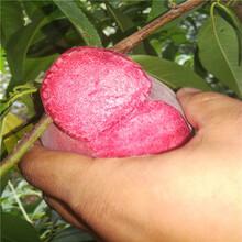中桃金魁桃樹苗本周價格表、中桃金魁桃樹苗寧夏批發價格圖片
