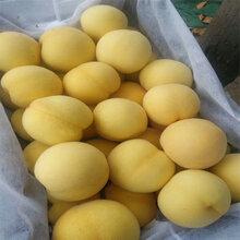 黄金蜜5号桃苗管理方法,黄金蜜5号桃苗简介及报价图片