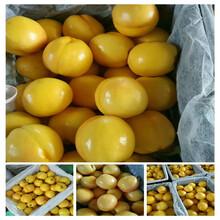 金香妃油蟠桃苗內蒙古種植技術圖片