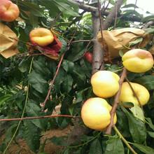 黃金蜜四號黃桃苗木基地、黃金蜜四號黃桃西藏果樹報價圖片