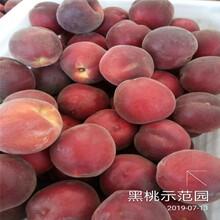 珍珠棗油桃油桃桃苗江蘇市場報價圖片