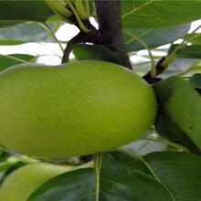 兩年的紅酥蜜梨苗,兩年的紅酥蜜梨苗新品種圖片