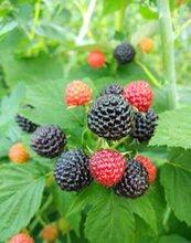 供应美国黑树莓苗图片