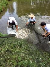 山东淡水鱼苗图片