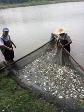 青岛鲤鱼苗图片