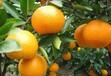 澧縣柑桔代辦柑桔銷售柑橘經銷-池昌松189--7565--8739