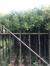 广东香樟树袋苗广东5-25公分香樟树袋苗低价供应商图片