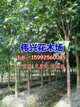 广东5公分菩提榕基地5公分菩提榕袋苗专业供应商图片