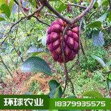 布福娜苗黑老虎苗大血藤苗菠萝葡萄种植技术指导图片