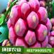布福娜苗,黑老虎苗,大血藤,菠萝葡萄实生两年苗