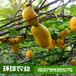九月黄金焦,九月瓜,八月瓜,五叶木通环球农业提供基地直发