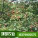 石棗苗,野荔枝苗,四照花苗果苗樹苗基地直發,環球農業提供