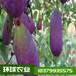 環球農業提供優質的八月瓜紫寶二號苗基地直發