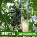 火參果種子刺角瓜火星果時間短收益快當年掛果