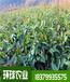 布福娜高清图片黑老虎两年苗种苗基地直发包技术指导