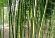 河北绿化竹子哪里卖,早园竹,青皮竹,银环竹批发