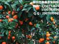 迪庆哪里出卖杂柑新品种爱媛42号苗的?图片