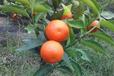 大量批发血橙树苗