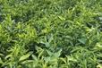 大量批发桔子树苗
