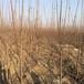 黑蘭特櫻桃苗產量大量供應黃玉櫻桃苗蒼南拉賓斯櫻桃苗