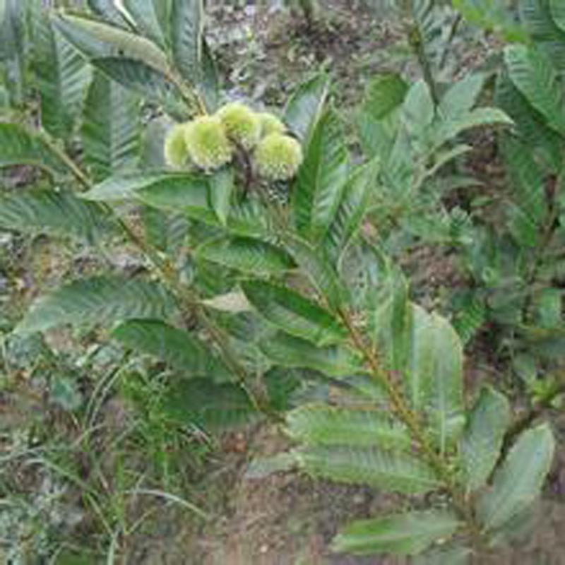 地脊东方泰地脊板栗树陕正西泰地脊板栗树栽种高产技术