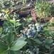 能占领市场的蓝莓苗品种巫山美登蓝莓苗种植方法