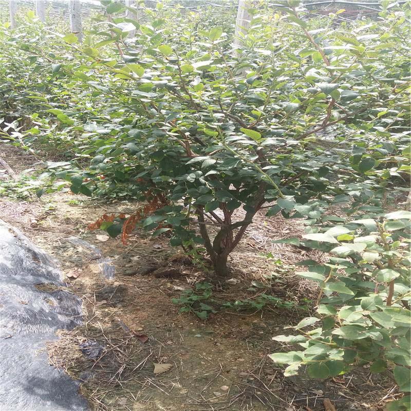 娄生厌-去哪买进考林蓝莓苗伸见—3年生蓝莓苗微少量出产特价而沽