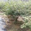 江苏蓝鸟蓝莓树苗亩产