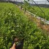 贵州爱国者蓝莓树苗怎么卖