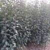 江苏布里吉塔蓝莓树苗质量放心