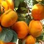 新闻东莞斤柿子苗亩产量高的柿子图片