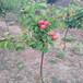 哪里賣紅豐3號杏樹苗巨鹿串枝紅杏樹苗生產廠家