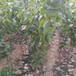 銷售紅豐杏樹苗珍珠油杏樹苗主產地