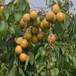 早熟黃金蜜杏樹苗珍珠油杏樹苗示范基地
