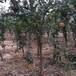 中農紅軟籽石榴苗——2年苗畝產