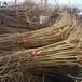 紅瑪瑙石榴苗——5年苗批發價