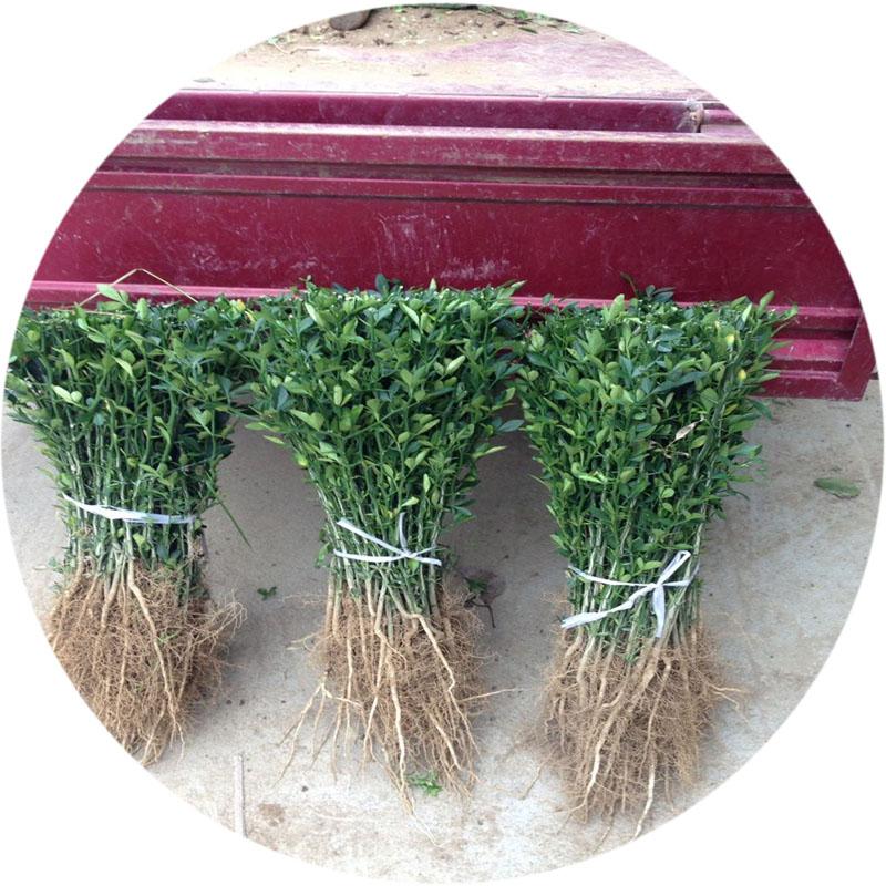 40cm枳殼苗  ——江陰市枳殼苗新品上市