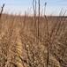兩年山里紅山楂苗和平大果山楂苗新品種