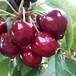 大量供應薩米脫櫻桃苗西固區黑蘭特櫻桃苗優質品種