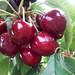 红蜜樱桃苗品种特征嫁接布鲁克斯樱桃苗隆子美白樱桃苗