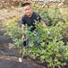 藍莓苗哪里買——新中苗木苗木行情