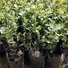 二年生藍莓苗——新中苗木銷售管理
