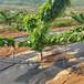 櫻砧王櫻桃苗畝產多少喬化黑珍珠櫻桃苗隨縣斯坦勒櫻桃苗