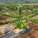 喬化大鷹嘴櫻桃苗南郊區斯坦勒櫻桃苗種植指導