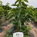 5公分短把櫻桃苗安縣銀珠櫻桃苗正宗品種