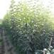 泰安新次郎柿子苗梅里斯達斡爾族區泰安新次郎柿子苗畝產