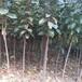 豐產磨盤柿子苗海安豐產磨盤柿子苗栽培及后期管理