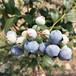 五年生艾克塔藍莓苗寶應甜粒星藍莓苗貨源